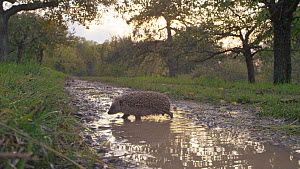 European hedgehog (Erinaceus europaeus) drinking and walking through a puddle, Mossingen, Baden-Wurttemberg, Germany, October. - Dietmar  Nill