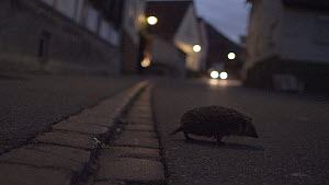 European hedgehog (Erinaceus europaeus) in road at night, with approaching car, Mossingen, Baden-Wurttemberg, Germany, October. - Dietmar  Nill