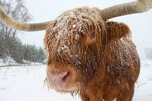 Highland cow in blizzard, Scotland, UK, December.  -  SCOTLAND: The Big Picture