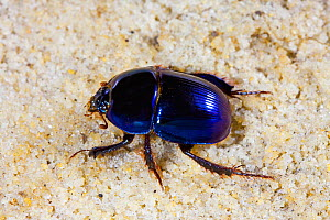 Scarab beetle (Peltotrupes profundus) endemic to Florida. Controlled conditions.  -  Barry Mansell