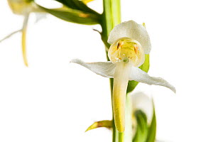 Greater butterfly orchid (Platanthera chlorantha) in flower, close-up, Maine-et-Loire, France, May, meetyourneighbours.net project  -  MYN / Marc Pihet