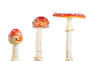 Fly agaric (Amanita muscaria), composite, Maine-et-Loire, France, October, meetyourneighbours.net project  -  MYN / Marc Pihet