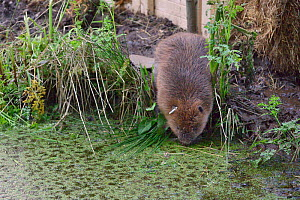 Eurasian beaver (Castor fiber) emerging from an artificial lodge and approaching water, at secret location during a beaver reintroduction by Devon Wildlife Trust, Devon, UK, May 2016.  -  Nick Upton