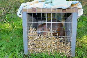 Eurasian beaver (Castor fiber) in transport crate, about to be released to a secret location by Devon Wildlife Trust, Devon, UK, May 2016.  -  Nick Upton