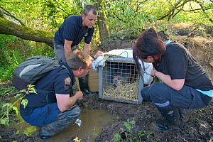 Peter Burgess, Mark Elliott and Roisin Campbell-Palmer wait for an Eurasian beaver (Castor fiber) to move from its transport crate into an artificial lodge built at a secret location by Devon Wildlife...  -  Nick Upton