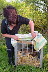 Roisin Campbell-Palmer with an Eurasian beaver (Castor fiber) in a transport crate about to be released to a secret location by Devon Wildlife Trust, Devon, UK, May 2016. Model released.  -  Nick Upton