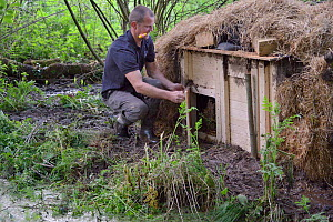 Peter Burgess opening the entrance to an artificial lodge containing Eurasian beaver (Castor fiber) at a secret location during a beaver reintroduction by Devon Wildlife Trust, Devon, UK, May 2016. Mo...  -  Nick Upton