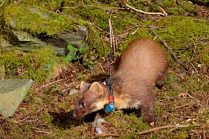 Radio-collared female Pine Marten (Martes martes) reintroduced to Wales by the Vincent Wildlife Trust foraging at night in woodland, Cambrian Mountains, Wales, UK, May 2016. Photographed using a remot...  -  Nick Upton