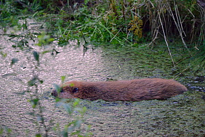 Eurasian beaver (Castor fiber) swimming  at dusk after emerging from an artificial lodge, at a secret location during a beaver reintroduction by Devon Wildlife Trust, Devon, UK, May 2016.  -  Nick Upton