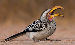 Southern Yellow-Billed Hornbill (Tockus leucomelas) yawning while sitting on the ground, Sabi Sand Game Reserve, South Africa  -  Wim van den Heever