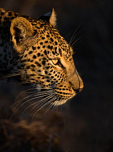Leopard (Panthera pardus) female head profile in early morning sunlight, Sabi Sand Game Reserve, South Africa  -  Wim van den Heever