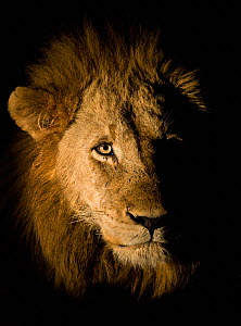 Lion (Panthera leo) photographed at night using a side lit spot light, Sabi Sand Game Reserve, South Africa  -  Wim van den Heever