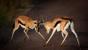 Thomson's gazelle (Eudorcas thomsonii) square off for a territorial battle, Ngorongoro Crater, Tanzania  -  Wim van den Heever