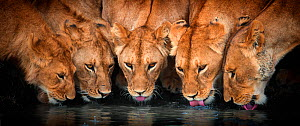 Lions (Panthera leo) five drinking together, Ndutu, Tanzania  -  Wim van den Heever