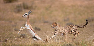 Cheetah (Acinonyx jubatus) hunting Springbok (Antidorcas marsupialis) trying to trip up the prey, Kgalagadi, South Africa  -  Wim van den Heever