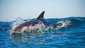 Bottlenose dolphin (Tursiops truncatus) porpoising at surface, Port St Johns, South Africa - Wim van den Heever