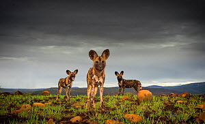 African Wild dogs or Cape hunting dogs (Lycaon pictus) at close range taken from ground level, Zimanga Private Game Reserve, South Africa. - Wim van den Heever