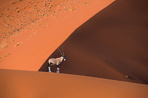 Oryx (Oryx gazella) lone animal standing on the top of a red dune, Sossuvlei, Namibia.  -  Wim van den Heever