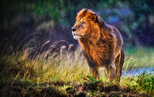 Lion (Panthera leo) male standing in cold and rain with strong wind blowing, smelling the air, Masai Mara National Reserve, Kenya - Wim van den Heever