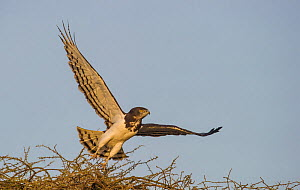 Black-Chested Snake-Eagle (Circaetus pectoralis) taking off from tree, Lake Ndutu Tanzania.  -  Wim van den Heever