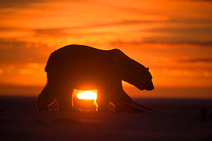 Polar bear (Ursus maritimus) silhouetted against setting sun, Bernard Spit, off the 1002 Area, Arctic National Wildlife Refuge, North Slope, Alaska, USA, October. Vulnerable species. - Steven Kazlowski