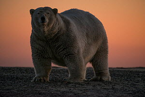 Polar bear (Ursus maritimus) portrait against sky at sunset, Bernard Spit, off the 1002 Area, Arctic National Wildlife Refuge, North Slope, Alaska, USA, September. Vulnerable species.  -  Steven Kazlowski
