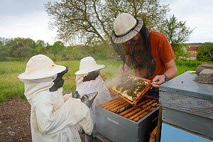 Beekeeper with seven-year old twins using  smoker to calm honeybees (Apis mellifera) in hive. Lorraine, France. May 2016. - Eric Baccega