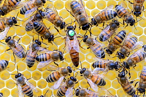 European honeybees (Apis mellifera) with marked queen among workers on honeycomb. Lorraine, France. May.  -  Eric Baccega
