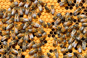 European worker honey bees (Apis mellifera) on honeycomb feeding larvae in cells. Lorraine, France. August.  -  Eric Baccega