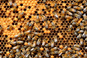 European worker honey bees (Apis mellifera) on comb feeding larvae in cells. Lorraine, France. August.  -  Eric Baccega