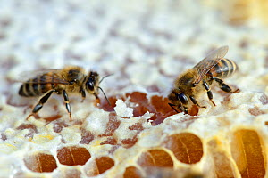 European worker honey bee (Apis mellifera) putting honey in storage comb in hive. Lorraine, France. August.  -  Eric Baccega