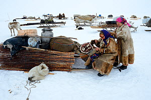 Nenet woman repairing reindeer skin coat before migration. Camp dismantled with supplies on sleds. Yar-Sale district, Yamal, Northwest Siberia, Russia. April 2016.  -  Eric Baccega