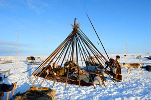 Nenet herders building tent in tundra. Yar-Sale district, Yamal, Northwest Siberia, Russia. April 2016.  -  Eric Baccega