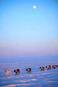Reindeer (Rangifer tarandus) herd migrating in spring dusk under moon. Yar-Sale district, Yamal, Northwest Siberia, Russia. April. - Eric Baccega