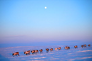 Reindeer (Rangifer tarandus) herd migrating in spring at dusk under moon. Yar-Sale district, Yamal, Northwest Siberia, Russia. April. - Eric Baccega