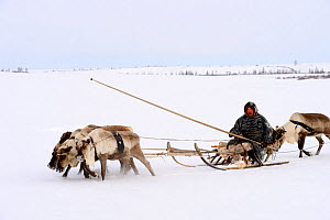 Sergueï Chorolya, Nenet herder drives Reindeer (Rangifer tarandus) sled on spring migration across tundra. Yar-Sale district, Yamal, Northwest Siberia, Russia. April 2016.  -  Eric Baccega