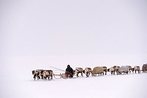 Sergueï Chorolya, Nenet herder drives Reindeer (Rangifer tarandus) sleds on spring migration across tundra. Yar-Sale district, Yamal, Northwest Siberia, Russia. April 2016.  -  Eric Baccega