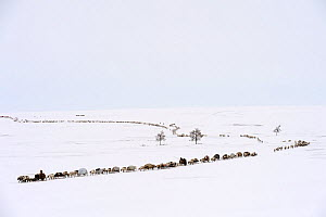 Nenet herders travel by Reindeer (Rangifer tarandus) sled on spring migration across tundra. Yar-Sale district, Yamal, Northwest Siberia, Russia. April 2016.  -  Eric Baccega