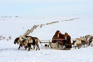 Nenet woman leading Reindeer (Rangifer tarandus) sleds on spring migration across tundra. Yar-Sale district, Yamal, Northwest Siberia, Russia. April 2016.  -  Eric Baccega