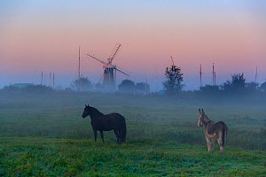 Donkey and horse on the Norfolk Broads with windmill at dawn,  Norfolk, UK, October 2008. - Ernie  Janes