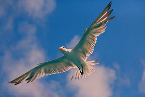 Royal tern (Sterna maxima) in flight, Fort Myers beach, Florida, USA, February.  -  Ernie  Janes
