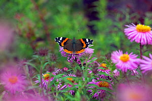 Red admiral butterfly (Vanessa atalanta) on flowers, England, UK, September.  -  Ernie  Janes