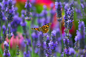 Painted lady butterfly (Cynthia cardui) feeding on lavender flowers in garden, England, UK. August. - Ernie  Janes