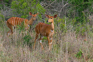 Nyala (Tragelaphus angasii) females, Natal. South Africa, January.  -  Ernie  Janes