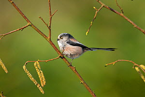 Long tailed tit (Aegithalos caudatus) on Hazel branch with catkins, England, UK, February. - Ernie  Janes