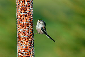 Long tailed tit (Aegiyhalos caudatus) on peanut feeder, England, UK, February. - Ernie  Janes