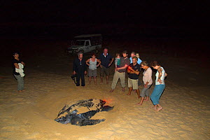 Eco tourists watching Leatherback sea turtle (Dermochelys coriacea) laying eggs, South Africa, January 2016.  -  Ernie  Janes