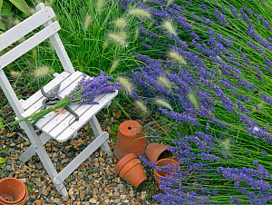 Lavender border 'Hidcote variety' with chair and terracotta pots,  and Grass (Pennisetum villosum) Norfolk, England, UK, August. - Ernie  Janes