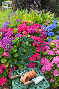 Hydrangeas (Hydrangea sp) cultivated flowers in garden border with cast iron chair with pots and trowels, England, UK, July. - Ernie  Janes
