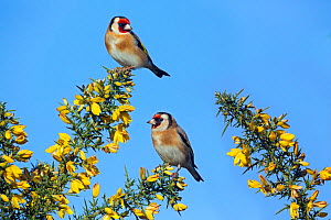 RF- Goldfinches (Carduelis carduelis) pair in winter flowering gorse, England, UK, February. (This image may be licensed either as rights managed or royalty free.) - Ernie  Janes